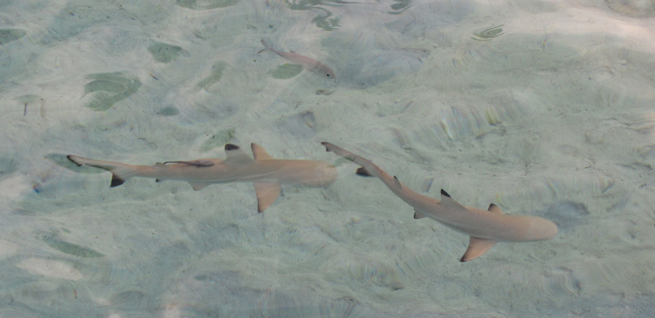 baby sharks for sale